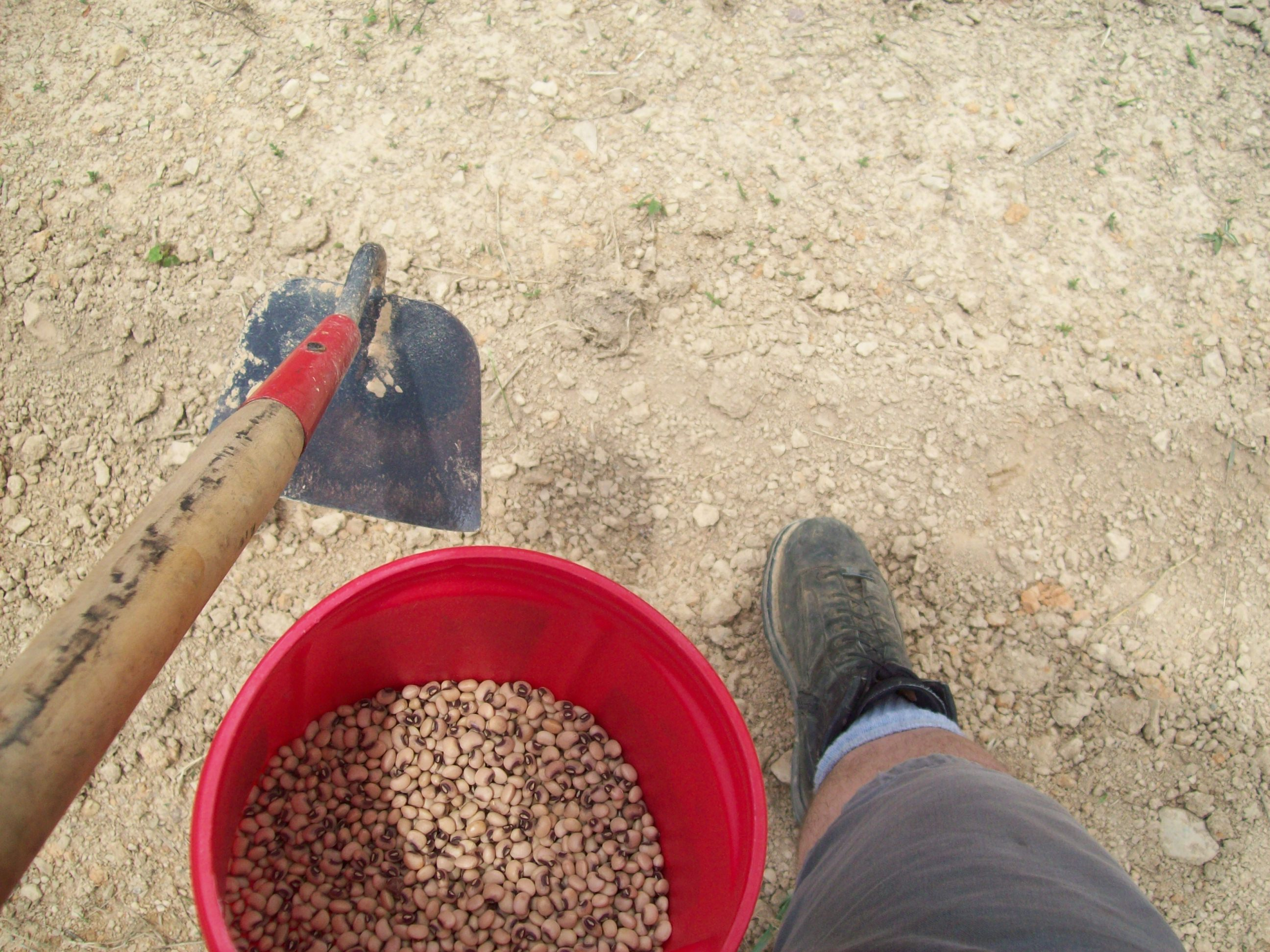 Dropping Pink Eyed Purple Hulled Peas into a shallow furrow